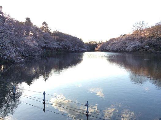 201400331_井の頭公園の桜.jpg
