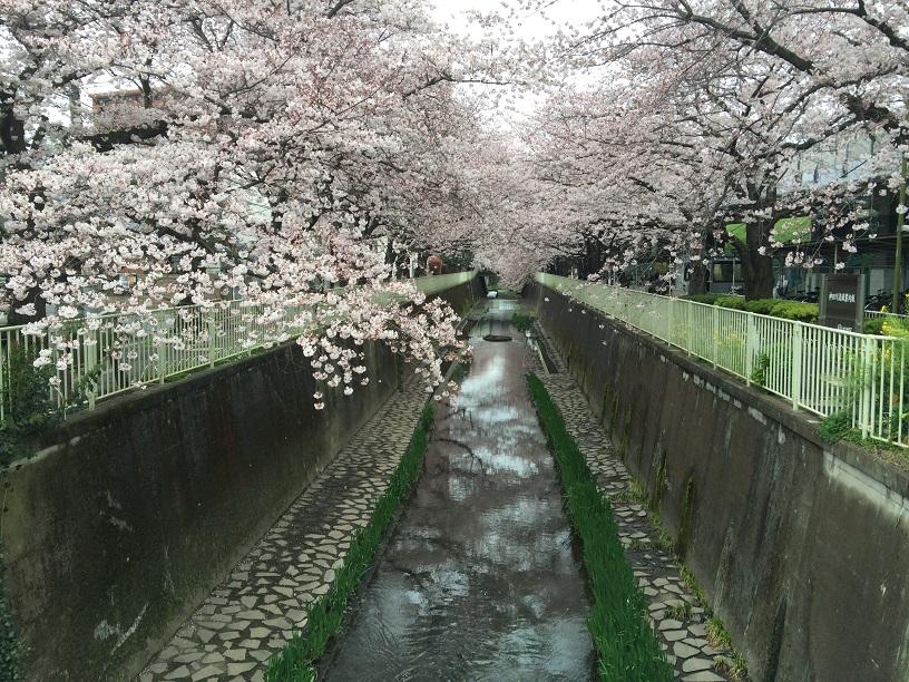 20160402_高井戸の桜.jpg